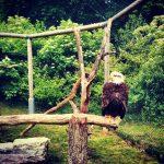 Tripsdrill Wildparadies Weißkopfseeadler Heilbronner Land WanderSüden