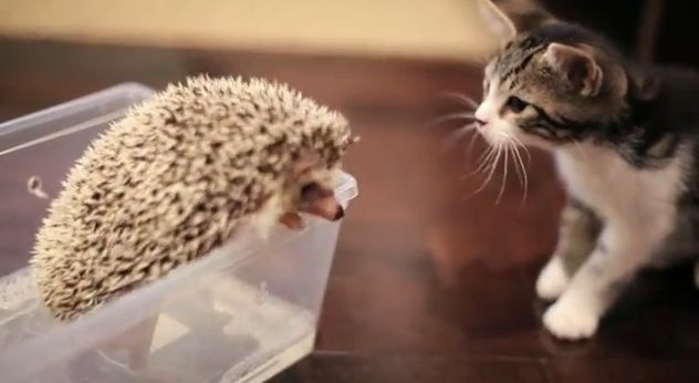 Video Screenshot KITTEN MEETS HEDGEHOG - YouTube